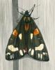 tiger moth